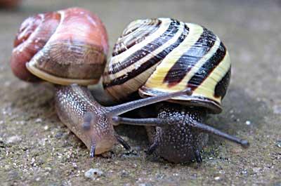 Snails after rain